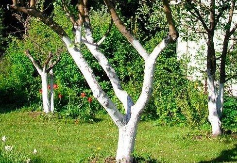 Зачем надо красить стволы деревьев