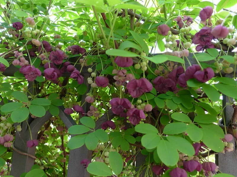 Акебия: шоколадная лиана в саду