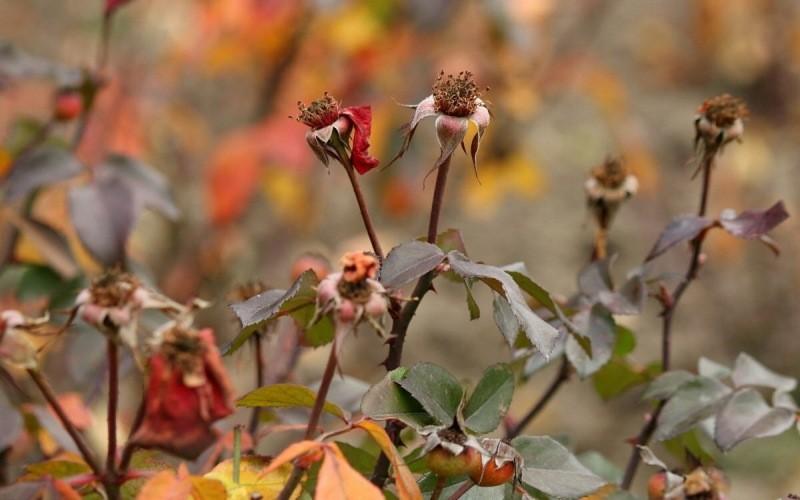 Боятся ли розы первых осенних заморозков