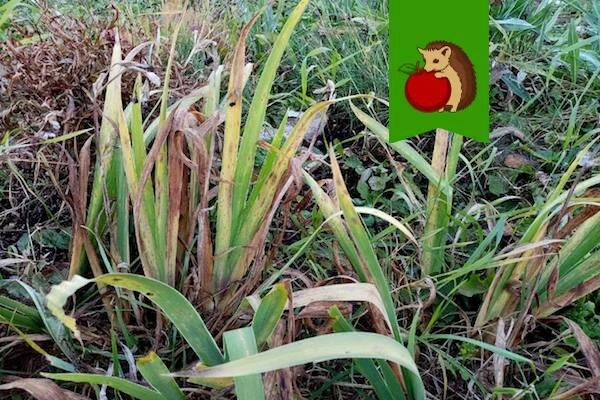 Что делать с ирисами в октябре: 5 процедур, благодаря которым ирисы будут ярче и пышнее цвести в следующем году