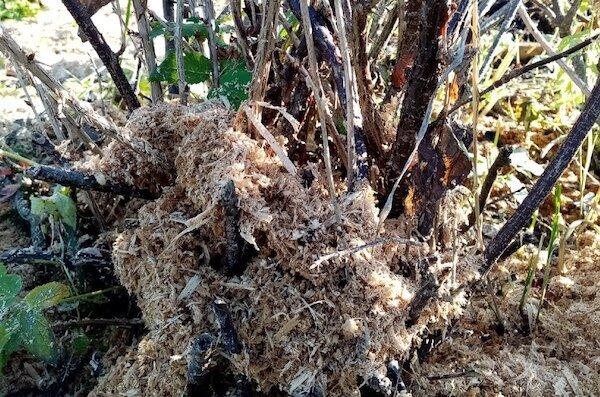 Что делать с крыжовником в октябре: 6 процедур, которые приведут к повышению урожайности в следующем году