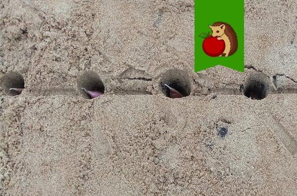 Что положить в лунку под озимый чеснок, чтобы он вырос крупным и крепким?