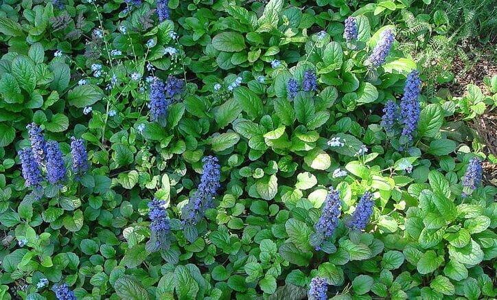 Дюшенея - отличное растение для сада