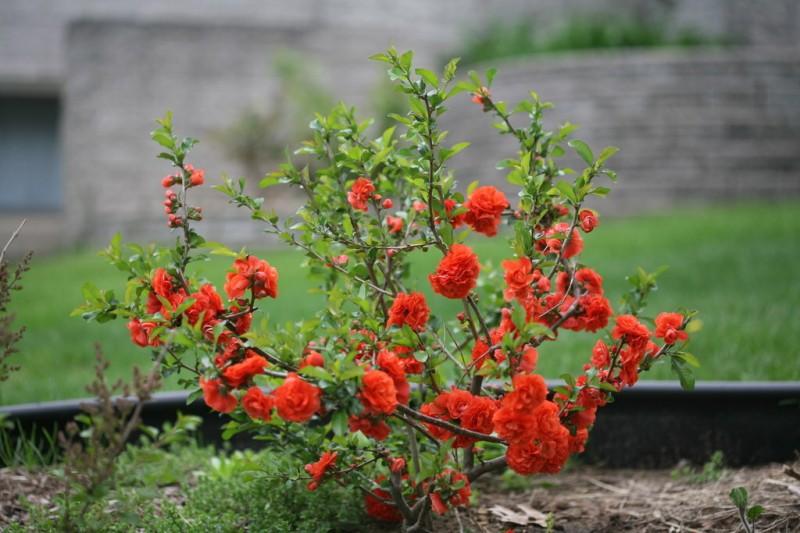 Японская айва: красота в саду