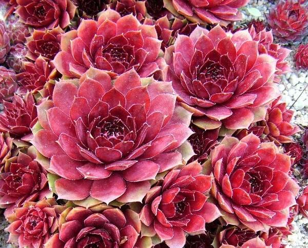 Каменная роза в дизайне вашего сада