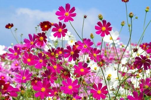 Космеи: осеннее украшение садов