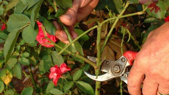 Любимый метод осеннего черенкования роз