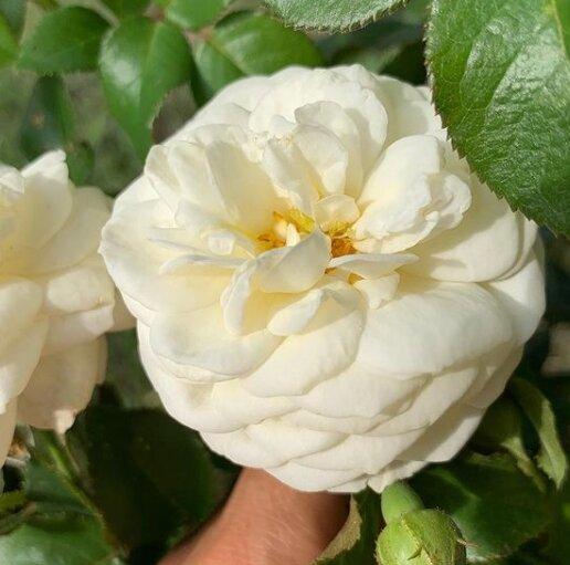 Простой уход за розами