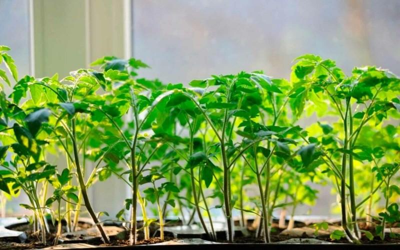 Рассада на подоконнике: главные преимущества выращивания растений из рассады