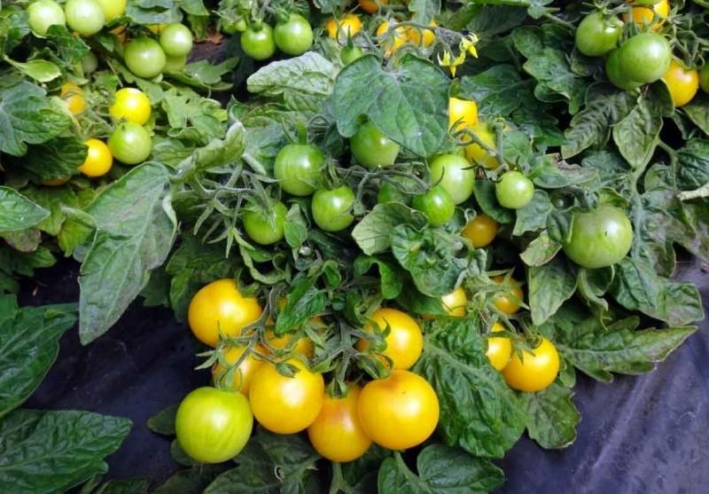 Желтые томаты: происхождение, особенности выращивания и отличия от красных